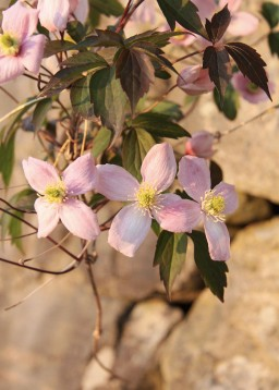 stille-blomst